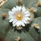 Lophophora williamsii Lofofora, Peyote semi