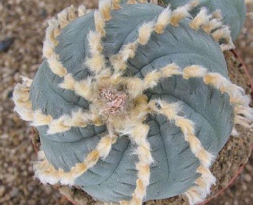 Lophophora williamsii v. Huizache Peyote, Botón de Mezcal, Jícore semillas