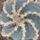Lophophora williamsii v. Huizache  cемян