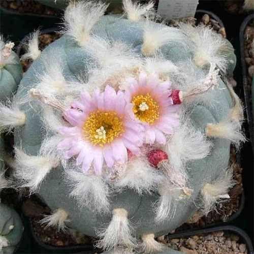 Lophophora williamsii v. decipiens Peyote, Botón de Mezcal, Jícore semillas