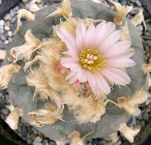 Lophophora williamsii v. texana Peyote, Botón de Mezcal, Jícore semillas