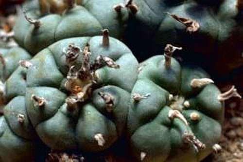 Lophophora williamsii v Bernalecho Peyote Samen