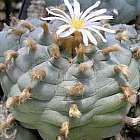 Lophophora williamsii v Cardona