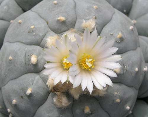 Lophophora williamsii v Charco Blanco Peyote Samen