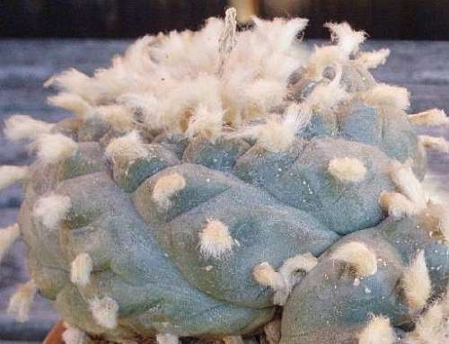 Lophophora williamsii v Est. Catorce  semillas