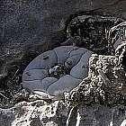 Lophophora williamsii v Est. Elenea  cемян