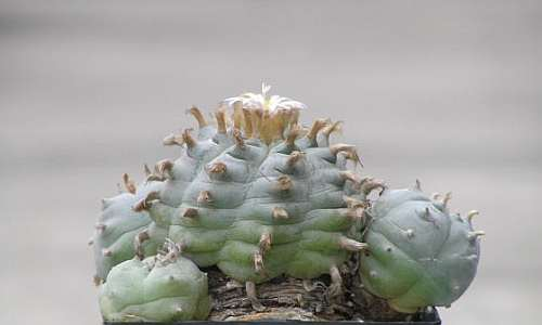 Lophophora williamsii v General Cepeda  semillas