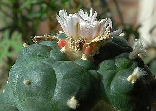 Lophophora williamsii v Moctezuma Peyote Samen