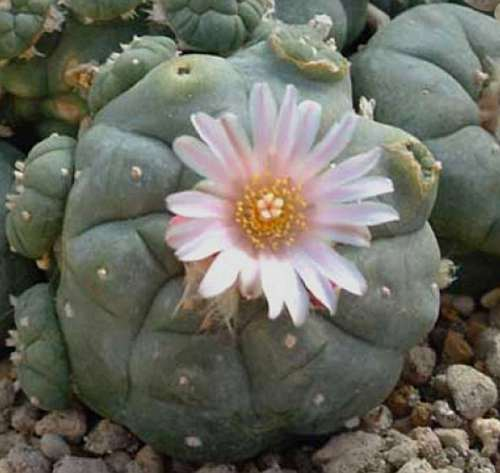 Lophophora williamsii v Refugio  semillas