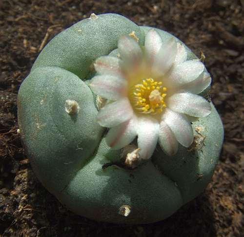Lophophora williamsii v Reynosa Peyote Samen