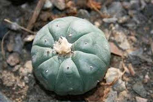 Lophophora williamsii v Rinconada Peyote Samen