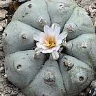 Lophophora williamsii v Rio Pecos  semi