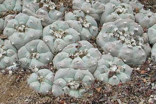 Lophophora williamsii v San Antonio Peyote Samen