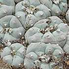 Lophophora williamsii v San Antonio Peyote Samen