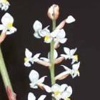 Ludisia discolor Juwel Orchidee Samen