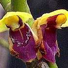 Luisia zollingeri syn: Luisia brachystachys - Luisia latilabris Samen