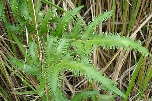Lygodium flexuosum helecho semillas