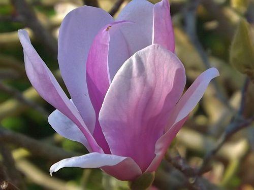 Magnolia campbellii Campbell Magnolia Samen