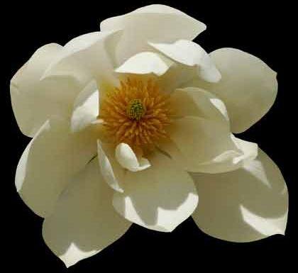 Magnolia doltsopa Süße Magnolie - syn: Michelia doltsopa - Magnolia excelsa Samen