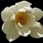 Magnolia doltsopa S??e Magnolie - syn: Michelia doltsopa - Magnolia excelsa Samen