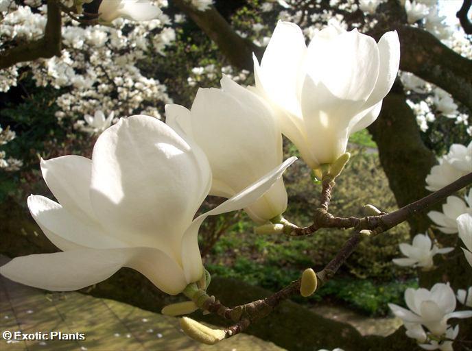 Cuestionario imagenes 2.o Magnolia_grandiflora2_large