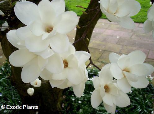 Magnolia grandiflora magnolia del sur semillas