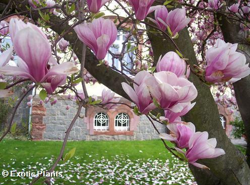 magnolia soulangiana tulpen magnolie samen. Black Bedroom Furniture Sets. Home Design Ideas