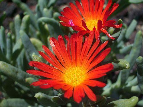 Malephora crocea var crocea Kupfer Mesembryanthemum Samen