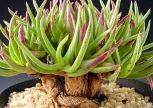 Marlothistella stenophylla syn: Mesembryanthemum stenophyllum Samen