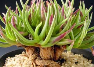 Marlothistella stenophylla  semillas