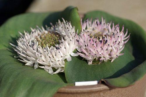 Massonia jasminiflora  semillas