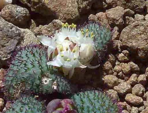 Massonia wittebergensis  semillas