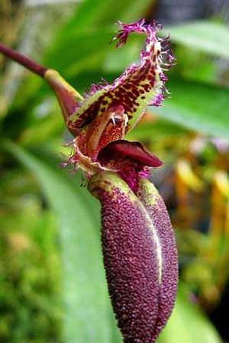 Mastigion putidum orquídea semillas