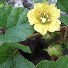 Merremia bipinnatipartita Merremia semillas