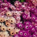 Mesembryanthemum Magic Carpet