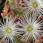 Mesembryanthemum crystallinum Escarcha, Escarchada, Hierba del roc?o, Gazul, Escarchado semillas