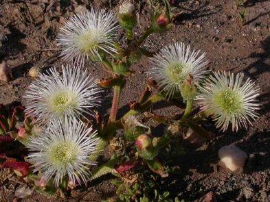 Mesembryanthemum guerichianum Eispflanze Samen