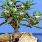 Mestoklema macrorrhizum Caudex semillas