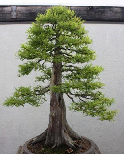 Metasequoia glyptostroboides Séquoïa de Chine - bonsaï graines