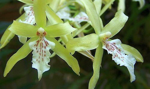 Miltonia flavescens orquídea semillas