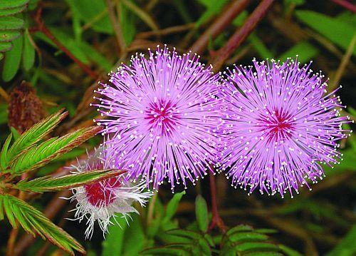 Mimosa pudica Sinnpflanze - Rühr-mich-nicht-an Samen