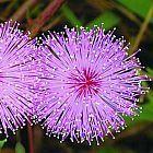 Mimosa pudica Sinnpflanze - R?hr-mich-nicht-an Samen