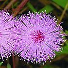 Mimosa pudica planta sensibles semillas