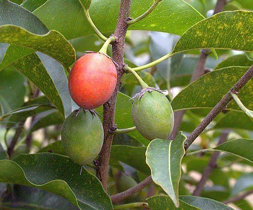 Mimusops elengi Indischer Fruchtbaum Samen