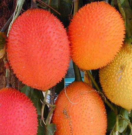 Momordica cochinchinensis  semillas