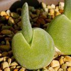 Monilaria obconica  semillas