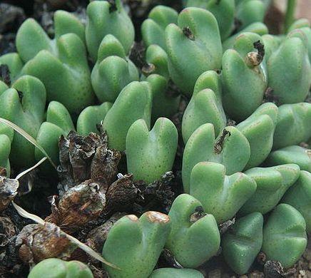 Monilaria scutata s Garies Mesembs - Aizoaceae graines
