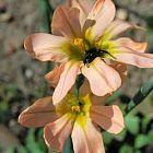 Moraea flaccida synonyme: Homera flaccida graines