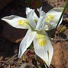 Moraea fugax Iridaceae semillas