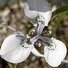 Moraea unguiculata  cемян